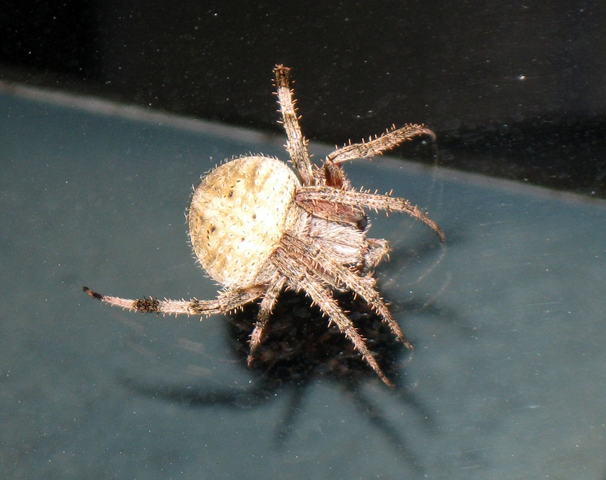 Spotted Orb Weaver Facts Identifications Amp Pictures