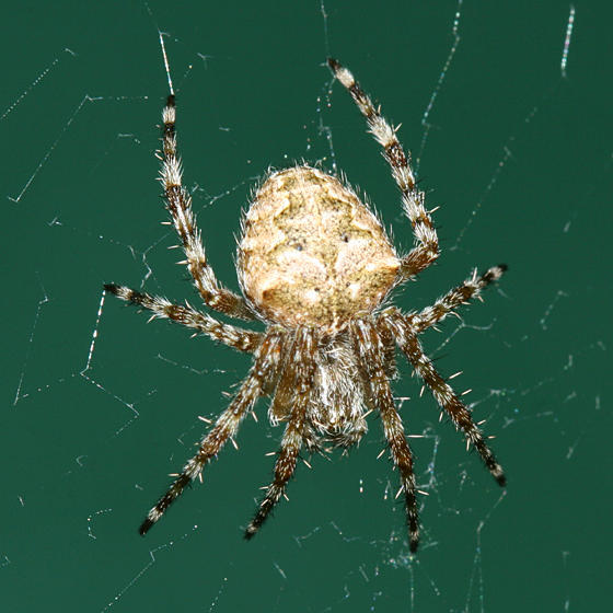 Barn Spider Facts Identification Amp Pictures