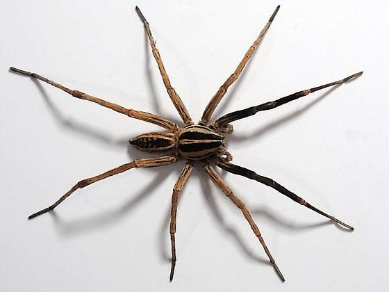 Rabid Wolf Spider Facts Identification Pictures
