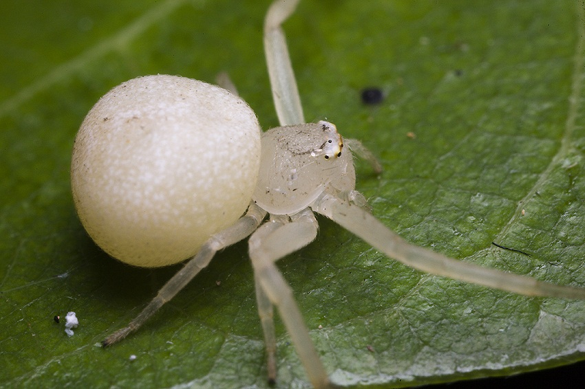 White Widow Spider Facts, Identifications, & Pictures