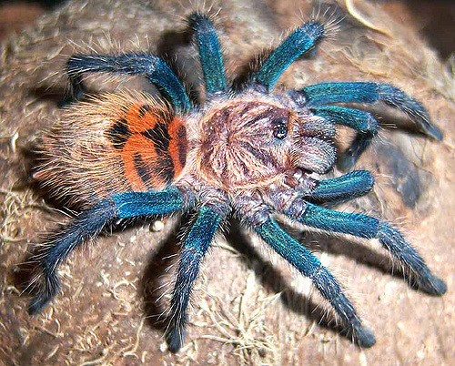 Greenbottle Blue Tarantula Facts, Identification & Pictures