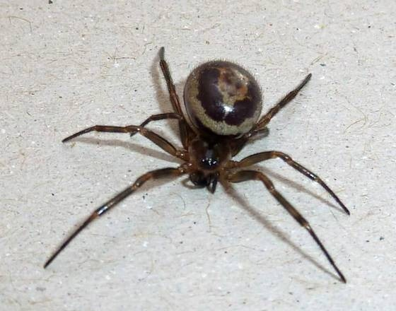 False Black Widow Facts Identification Pictures