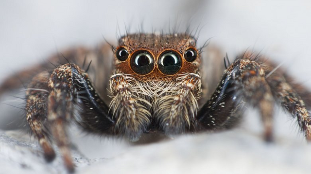 Himalayan Jumping Spider Facts, Identifications & Pictures