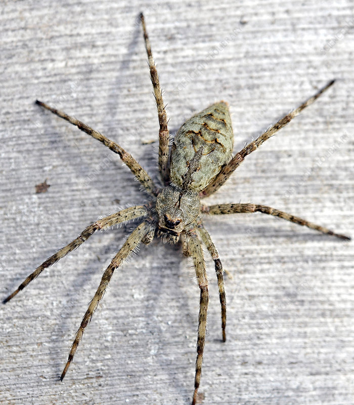 White Banded Fishing Spider Facts Identifications And Pictures