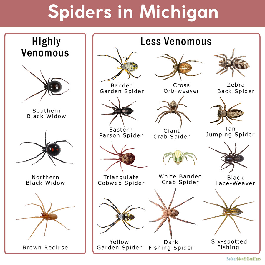 Spiders In Michigan List With Pictures